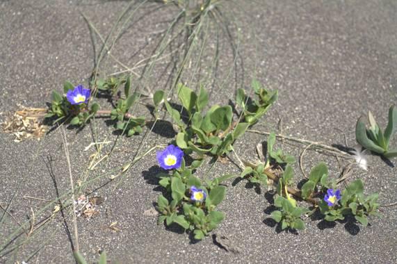 maulinista en Hamelin: Flora, Convolvulus tricolor, Suspiro de mar. Tregualemu, región del Maule.