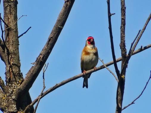 Mivilor68 en Hamelin: Fauna  (Ponferrada), Jilguero #paparazziaves  #jilguero