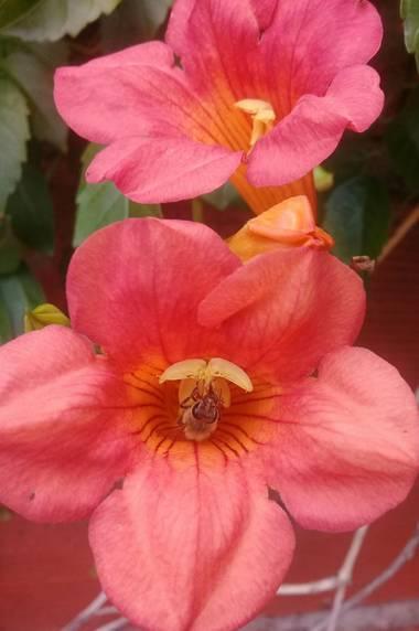 Supra3179 en Hamelin: Flora  (Chajarí), Una abeja trabajando 🐝