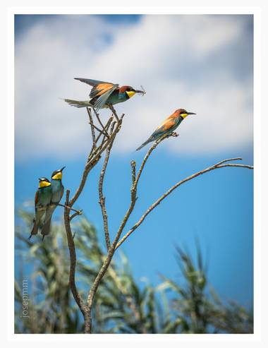 Josepmartinezmiro en Hamelin: Fauna  (Cabanes), Merops apiaster Linnaeus, 1758, FESTEJO #aves21 #abellerols #abejaruco