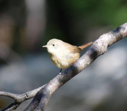 martinez.soledad en Hamelin: Fauna  (Río Pico), Troglodytes aedon Vieillot, 1809, Simplemente bello.. Sendero de bosque nativo #patagoniaargentina