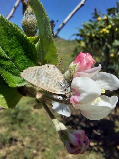 Apasnau75 en Hamelin: Fauna  (Pizarra), Sobre flor de manzano