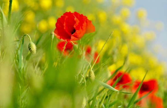 Azulmarino  en Hamelin: Flora  (Planoles), Papaver rhoeas, Amapola #naturephotography #frommypointofview #amapola #primavera