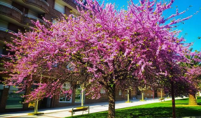 Sortueta en Hamelin: Flora  (Castro-Urdiales), Cercis siliquastrum L., El árbol del amor ❤️