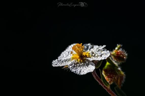 Florentinoeugenio en Hamelin: Flora  (Coslada), #flora21
