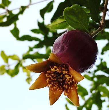 Navarroarevalomariateresa en Hamelin: Flora  (Viesca), Punica granatum, La flor vistosa ahora será una deliciosa granada!!