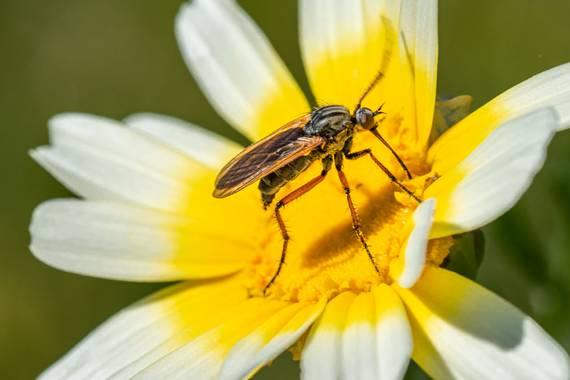Franciscojlopez63 en Hamelin: Fauna  (Sevilla), Creo que es una especie de mosca libando
