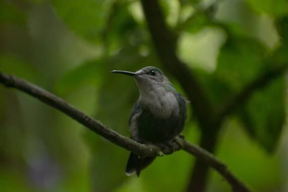 Colombia_salvaje_ en Hamelin: Fauna  (Dagua), Hermosos colibrí del valle del Cauca Colombia