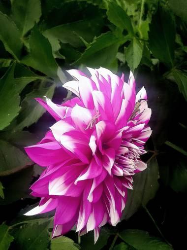 Blink182.0422 en Hamelin: Flora  (Pasto), Dahlia pinnata, Flor con dos inquilinos