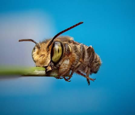Ahuatzinjulio en Hamelin: Fauna  (Kantunil), Megachilidae, Abeja cortadora de hojas, descansando temprano por la mañana.
