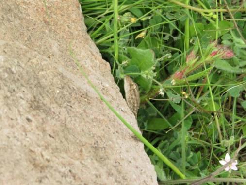 Solerantonio2 en Hamelin: Fauna  (Níjar), Salamanquesa al acecho en cabo de gata