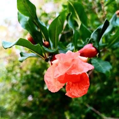 Navarroarevalomariateresa en Hamelin: Flora  (Viesca), Punica granatum, Hermosa y colorida flor de granado?