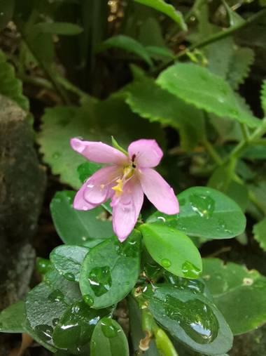 Amigomar197171 en Hamelin: Flora  (Cali),  es una planta herbácea perenne nativa de México, el Caribe, América Central, y gran parte de América del Sur. En...