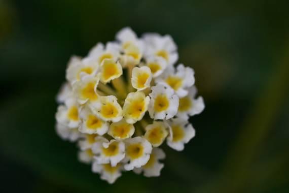 ralphlagarillo en Hamelin: Flora  (Málaga), Lantana camara, #flora21