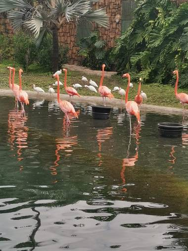 Amigomar197171 en Hamelin: Fauna  (Miami), Como los demás flamencos son aves altas y esbeltas, con patas y cuello muy largos, y un característico pico curv...