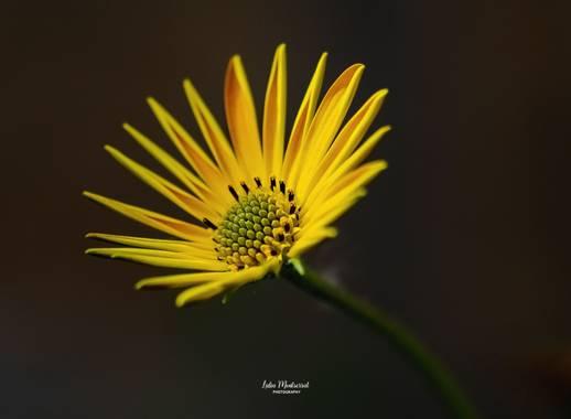 Lidia__lmr38 en Hamelin: Flora  (Zaragoza), Silphium terebinthinaceum, #flora21
