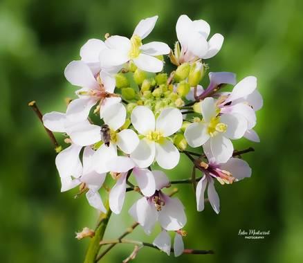 Lidia__lmr38 en Hamelin: Flora  (Villafranca de Ebro), Diplotaxis erucoides, Casi huele a primavera  #flores #hamelin