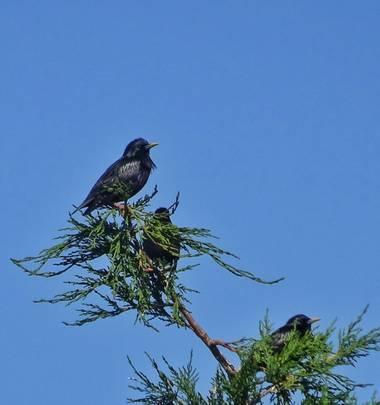 Mivilor68 en Hamelin: Fauna  (Ponferrada), Estorninos tomando el sol #paparazziaves  #estorninos  #pajarossilvestres