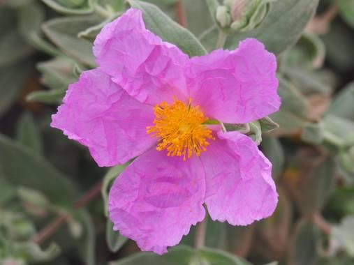 Lorenzo.coronado en Hamelin: Flora  (Sitges), Cistus albidus, Parc Natural del Garraf