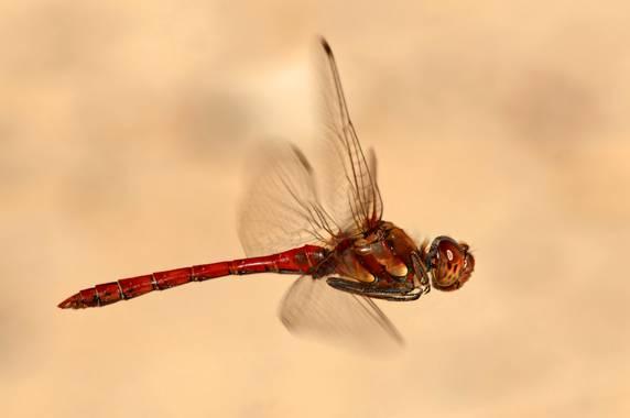 Ignicapillus en Hamelin: Fauna  (Bardenas Reales), ¡En vuelo!  A mediados de Octubre (2012) en las Bardenas reales (Navarra), unas copiosas lluvias habían ...