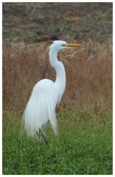 silviosarco en Hamelin: Fauna  (Los Toldos), Ardea alba Linnaeus, 1758, #Garzablanca #avessilvestres #avesdelostoldos #ennuestraslagunas nosolohayagua