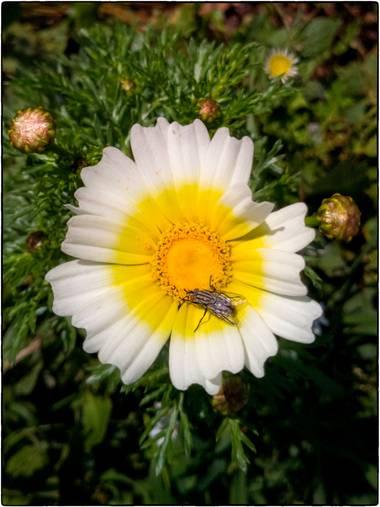 Breogan654 en Hamelin: Flora  (Benissa), Glebionis coronaria, Flor con visitante.