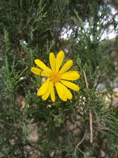 Liliannetnavas en Hamelin: Flora  (Zaragoza), Euryops pectinatus, Margarita amarilla 💛  #flora21