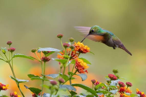 Tamarablazquezhaik en Hamelin: Fauna  (Coyoacán), Saucerottia beryllina (Deppe, 1830), Un hermoso colibrí berilo alimentándose de una lantana. Esta especie...