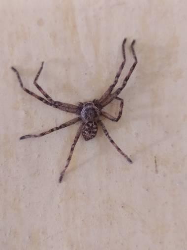 lcattay en Hamelin: Fauna, #araña
