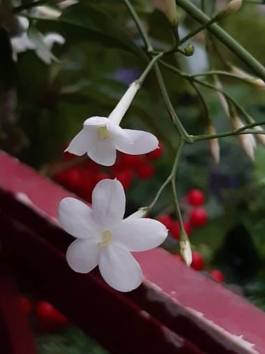 Mpinfante en Hamelin: Flora, Jasminum officinale, Jazmin