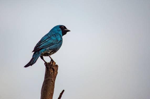 Camiloacca90 en Hamelin: Fauna  (Vistahermosa), Tersina viridis (Illiger, 1811), #avesdecolombia #avistamientodeaves #nature #naturaleza #bird_watching #bi...