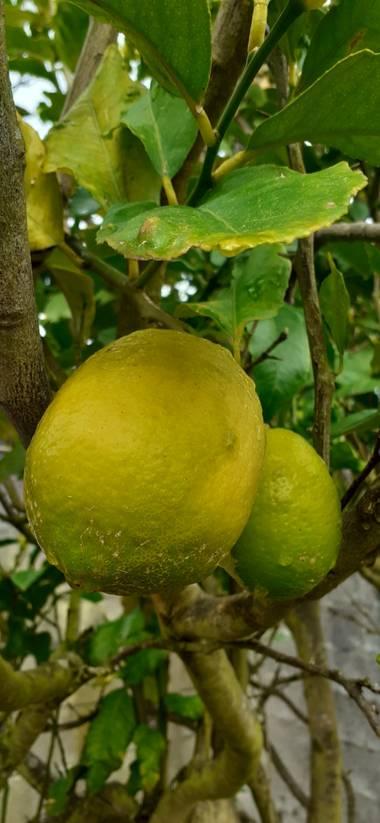 Maruchipo en Hamelin: Flora, Citrus limon, Mi limón mi limonero