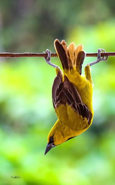 sinisterra2009 en Hamelin: Fauna  (Palmira), Icterus nigrogularis (Hahn, 1819), Turpial amarillo o gonzalito (Icterus nigrogularis)   #Aves21