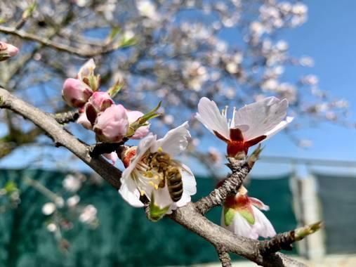 Manubarbecho en Hamelin: Fauna  (El Viso), Almendro en flor abeja polinizan
