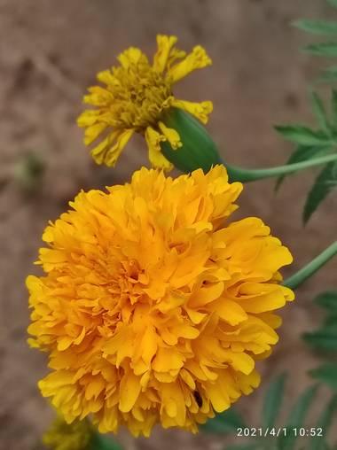 Olguin.jao en Hamelin: Flora  (Tres Valles), Tagetes erecta, Flor de muertos
