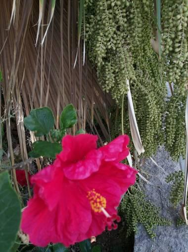 Solerantonio2 en Hamelin: Flora  (Almería), Hibiscus rosa-sinensis, Rosa china