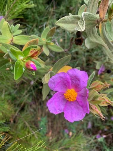 carogv1995 en Hamelin: Flora  (Mula), Cistus albidus, #flora21 #maravillanatural