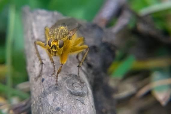 Eritz.cortazar en Hamelin: Fauna  (Bilbao), Mosca amarilla del estiercol   Las moscas adultan son principalmente predadores de pequeños insectos y solame...