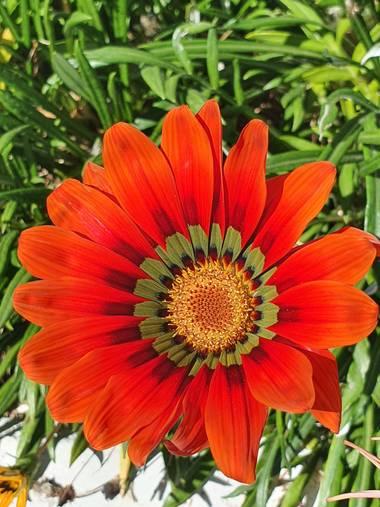 jclaurevalencia en Hamelin: Flora  (Tarija), Gazania rigens, -