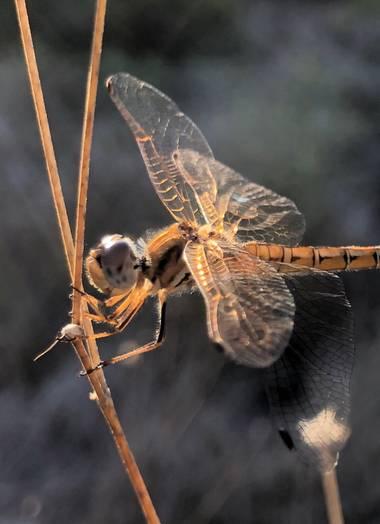 Beethovenzujo_86 en Hamelin: Fauna  (Murcia), #nature #naturaleza #naturalezamurcia #dragonfly #libelula #trithemiskirbyi