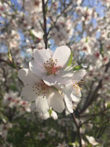 Marisol🍀 en Hamelin: Flora  (Madrid), Prunus dulcis