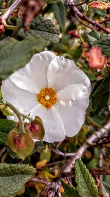 Corina en Hamelin: Flora  (Vitoria), Cistus populifolius, #flora21