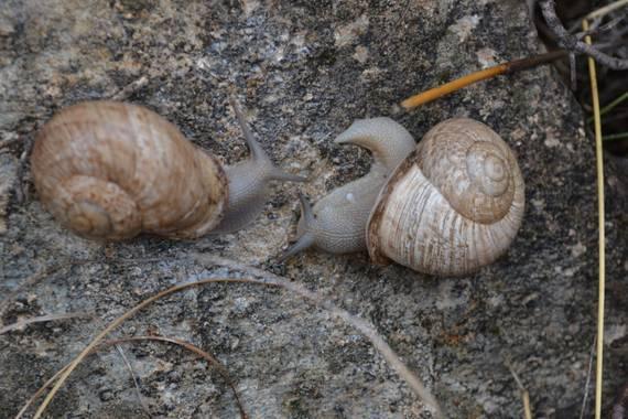 Solerantonio2 en Hamelin: Fauna  (Almería), Caracoles en sierra de gador