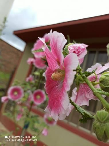 wilmerhmmp en Hamelin: Flora  (Garagoa), Alcea rosea, El vecino como cuida sus flores