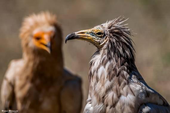 Unai Urresti en Hamelin: Fauna  (Valderredible), Neophron percnopterus (Linnaeus, 1758), Alimoche joven y adulto.  #aves21 #alimoche  #fauna