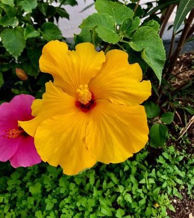 Alcedofoto  en Hamelin: Flora  (Aguadulce), Hibiscus rosa-sinensis
