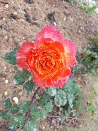 Eliza.loaizac en Hamelin: Flora  (Elche), Rosa chinensis, #flora21 #elche #floraenprimavera