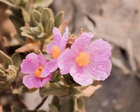 Cris Cabrera en Hamelin: Flora, Cistus albidus, #flora21 #hamelinflora #hamelin #flower #plant #nature #naturaleza #plantas #biodiversity #biodiversidad #...