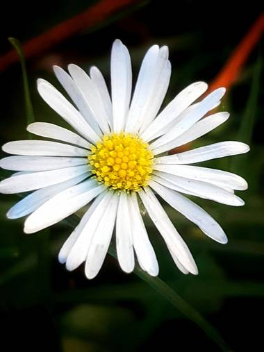 Mpinfante en Hamelin: Flora, ♧