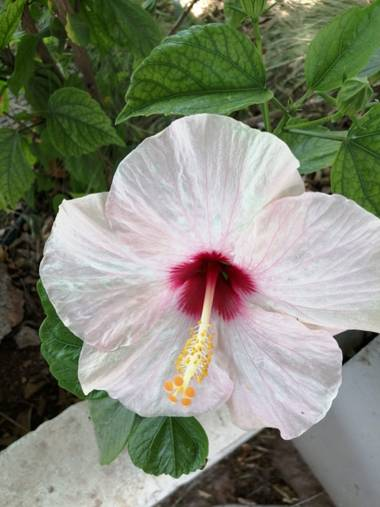 Solerantonio2 en Hamelin: Flora  (Almería), Rosa china